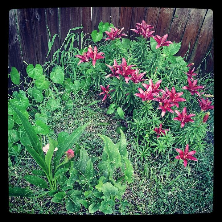 q calla lillies, gardening