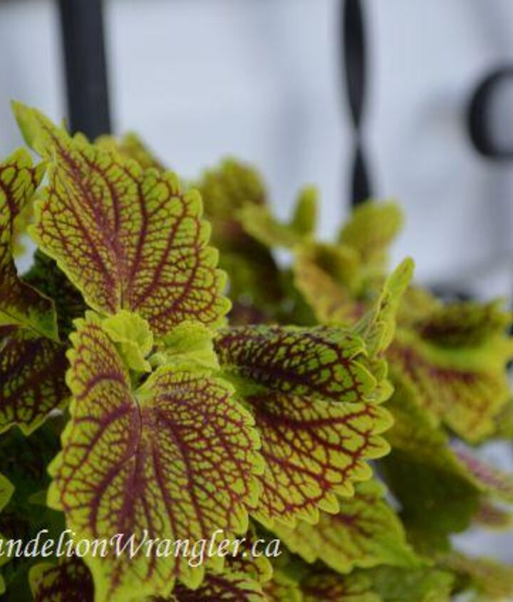 starlette s of the shade garden, flowers, gardening, This annual Coleus from Proven Winners grows from sun to part shade and bring fantastic colour and texture into the shade garden