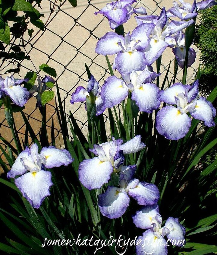 Iris that I inherited from previous owner. Used to be miniature. Now they are pretty large.