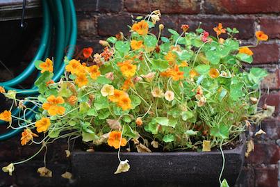 urbam hedges part three a kiwi vnes, container gardening, flowers, gardening, urban living, Nasturtiums 2013