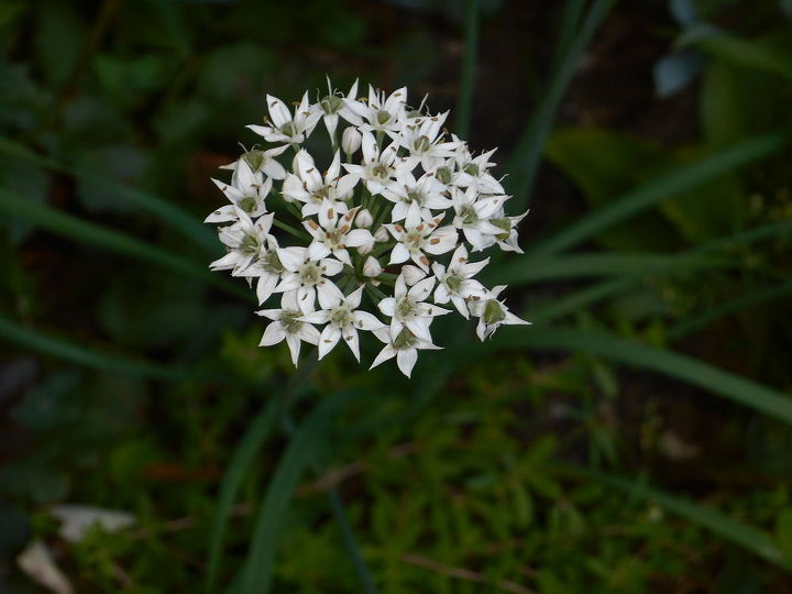 One Italian or chinese chives made it - it will produce many seeds.