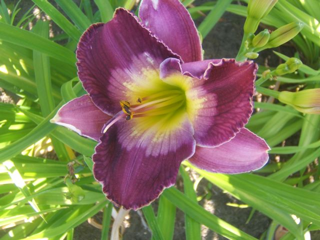 Daylily Court Magician lives on the cool side.