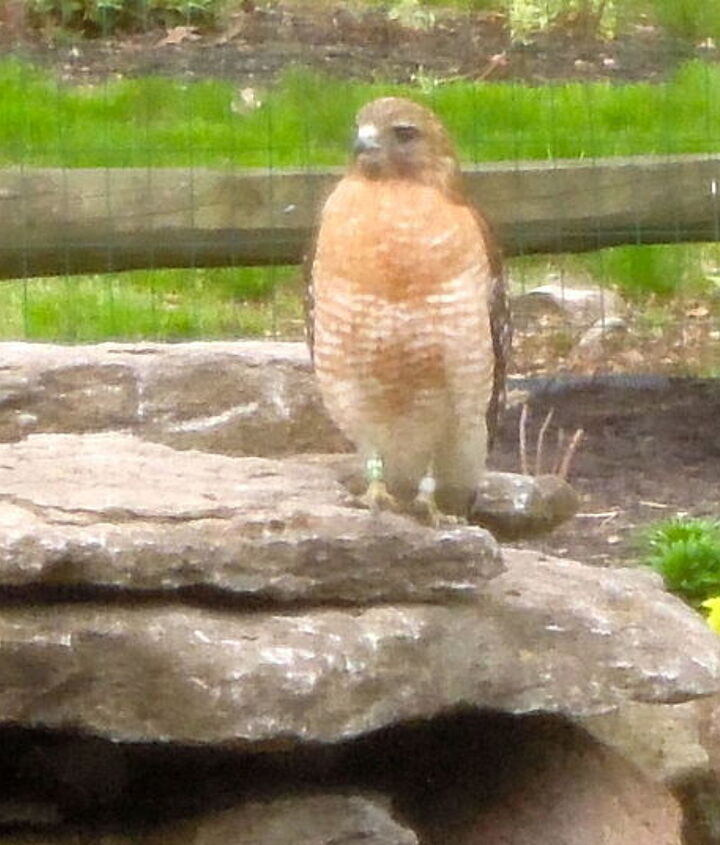 Critters,bugs & birds around our yard Hawk
