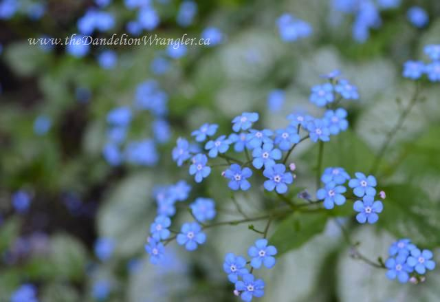 starlette s of the shade garden, flowers, gardening, Brunnera macrophylla Jack Frost grows excellently in my shade garden Like a hosta it has beautifully detailed foliage It also send out shoot of wonderful blue flowers in spring that remind me of forget me not s