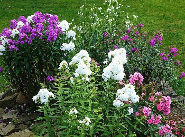 phlox, gardening