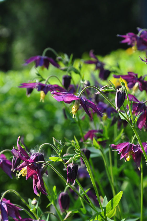 Columbines are early bloomers that are great for bridging the gap between spring bulbs and the great majority of perennials. They also readily self-seed. (Full sun)