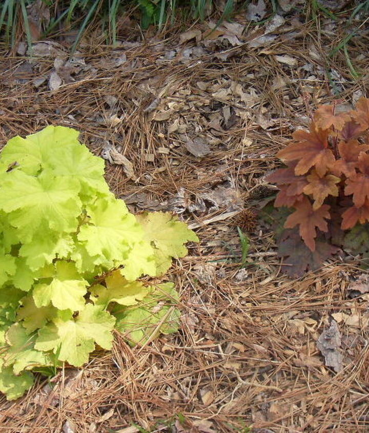 last fall i planted some heuchera and now would like to divide this light green one, gardening