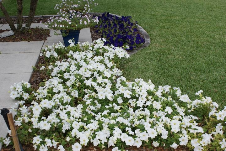 new pictures, gardening, Petunias are best used in mass plantings