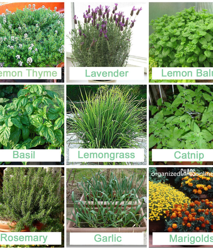 Plants that mosquitoes stay clear of.
