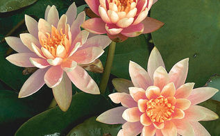 popular hardy waterlilies for your pond, flowers, gardening, outdoor living, ponds water features, Colorado 3 to 4 salmon flower Green leaves mottled with burgundy Full to partial sun