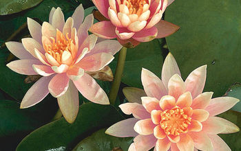 Popular Hardy Waterlilies for Your Pond