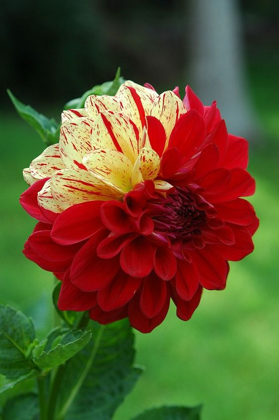 fellow gardeners i need your help confused dahlia or not, flowers, gardening