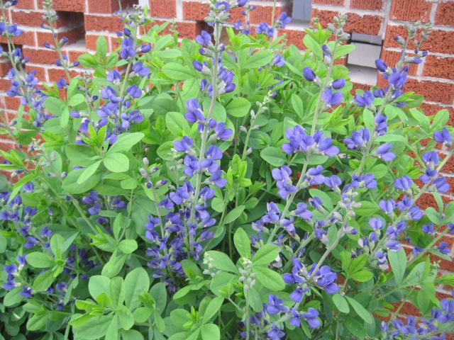Purple Baptisia that I grew from seed