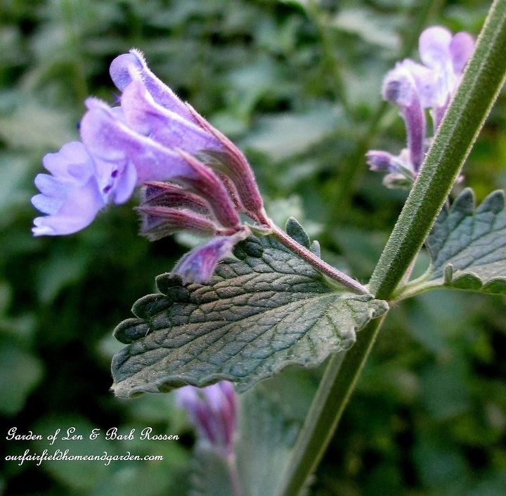 Nepata ~ Cat Mint , loved by hummingbirds
