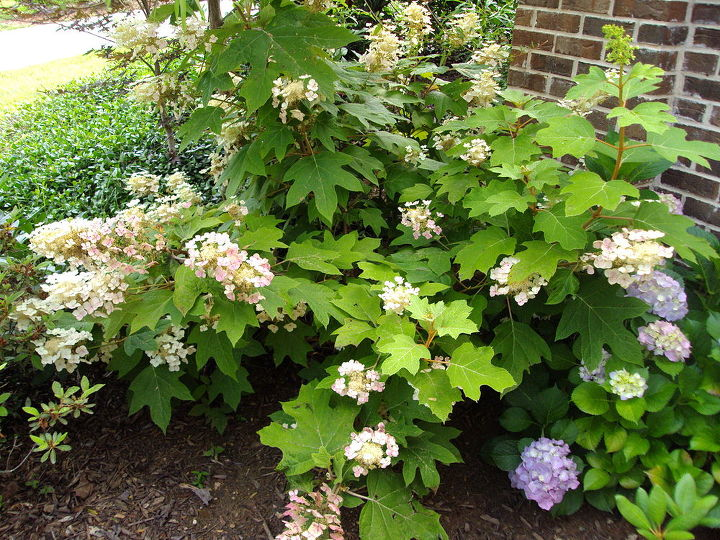 Old fashioned hydrangeas--they turn color depending on the nutrients in the soil. This one is pink, lavender, and blue.