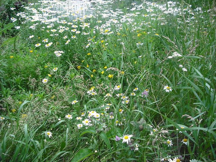 Garden and daisys