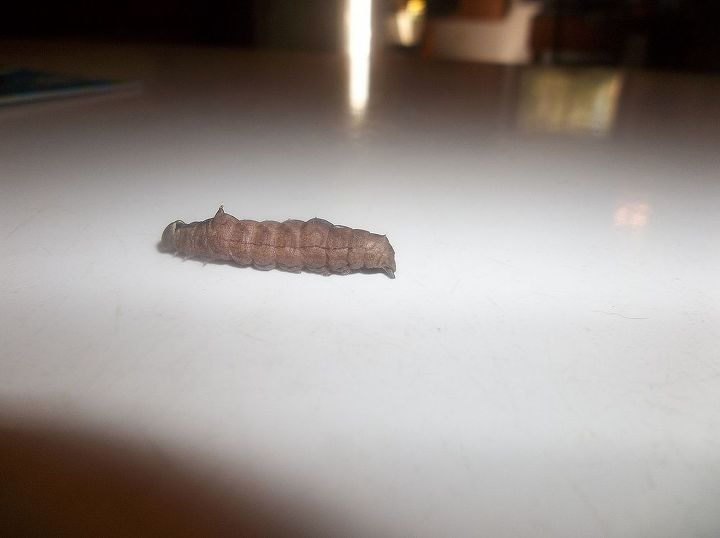 q what kind of caterpillar, pets animals