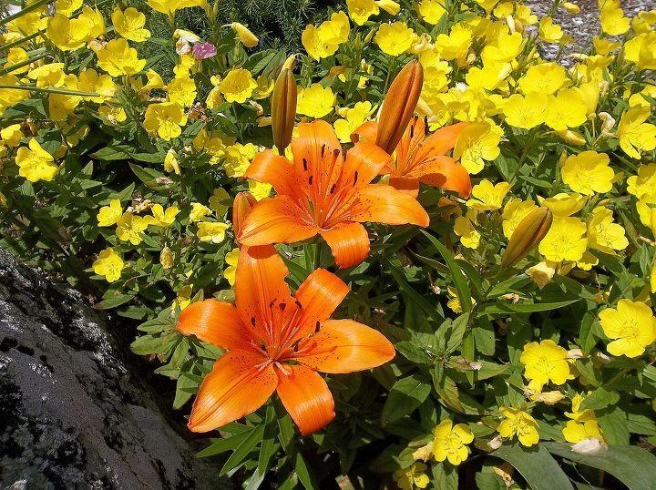 2013 lilies
