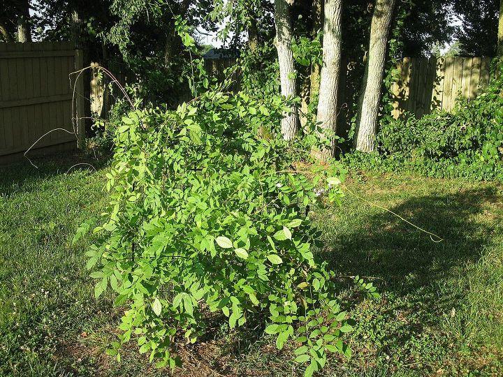 wysteria question, flowers, gardening