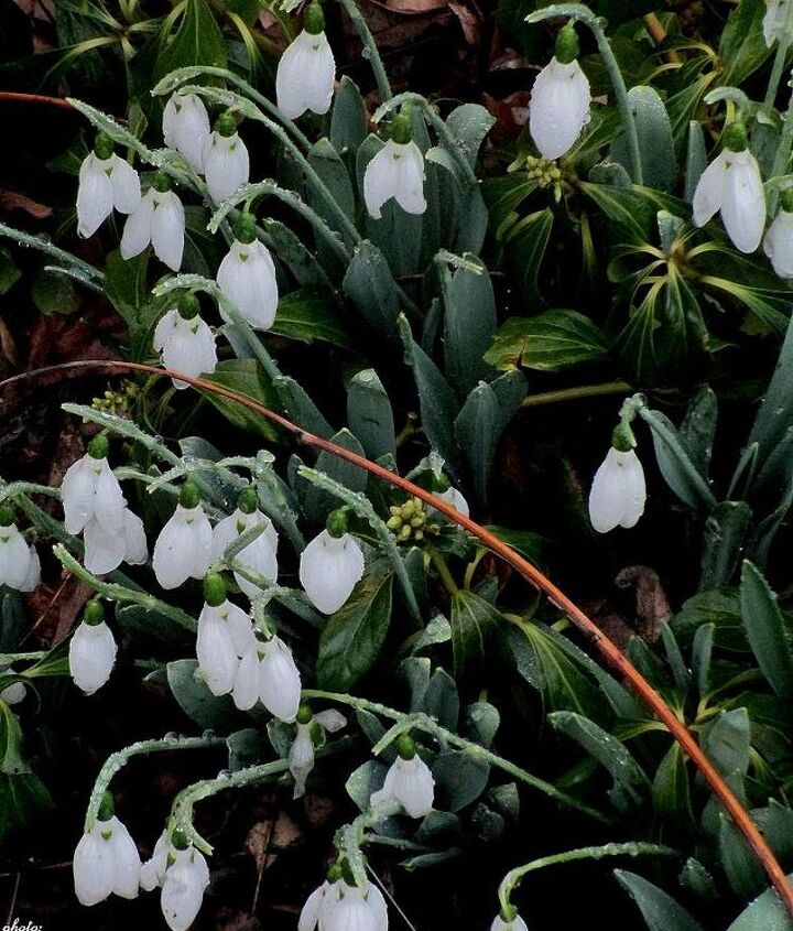 Snowdrops ~ delicate flowers from a tough bulb that blooms mid-winter