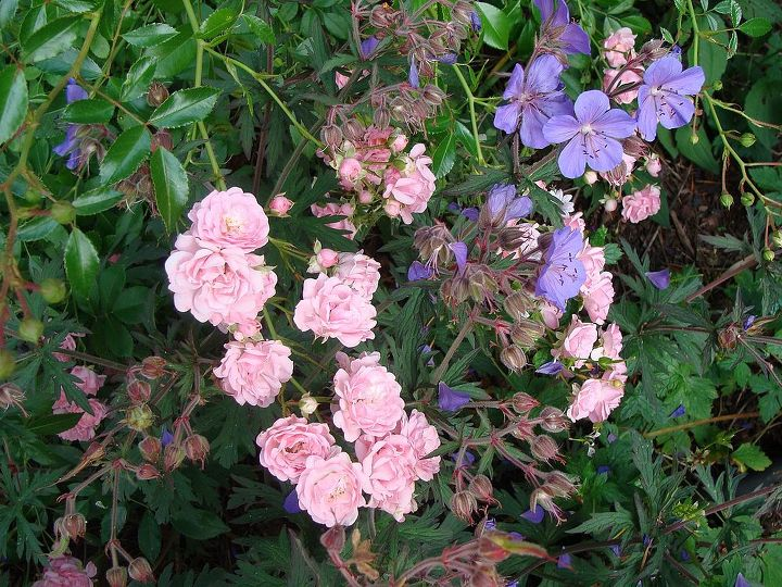 Delightful mix of 'Fairy' rose and a purple hardy geranium.