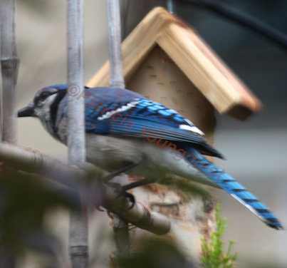 A lone blue jay looks west. INFO on this bird's antics in my garden is @ http://www.thelastleafgardener.com/search/label/Blue%20Jays AS WELL AS @ http://thelastleafgardener.tumblr.com/search/blue+jays