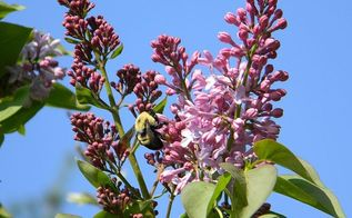 what is blooming at my house today april 24 2013, gardening, lilacs ready to open