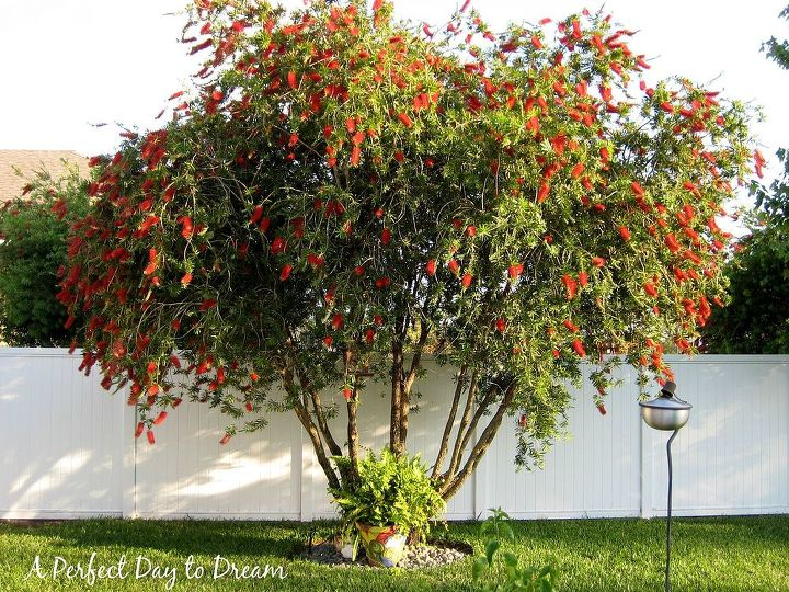Bottle Brush tree the last couple of years has bloomed beautifully.
