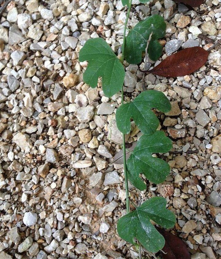 poison ivy i think, gardening