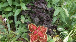 , deep purple plant I think it s a basil called Purple Ruffles It s a wonderful accent plant can grow almost 2 ft tall