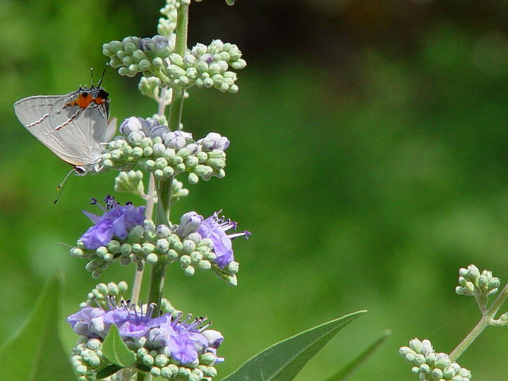 Butterfly on left (grey with orange & black marking)