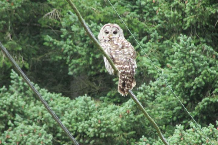 And a baard owl sitting on the phone line. You usually don't see them sitting on lines.