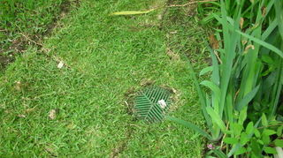killing blade grass in garden, gardening, A picture of the blade grass in garden