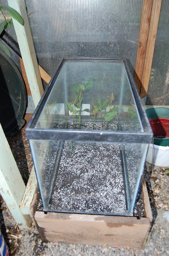 how to root roses lilacs and other semi hardwood cuttings, gardening, Place fish tank over cutting that have been firmed into place make sure no leaves or stems touch the glass make sure there is a space on bottom for air circulation