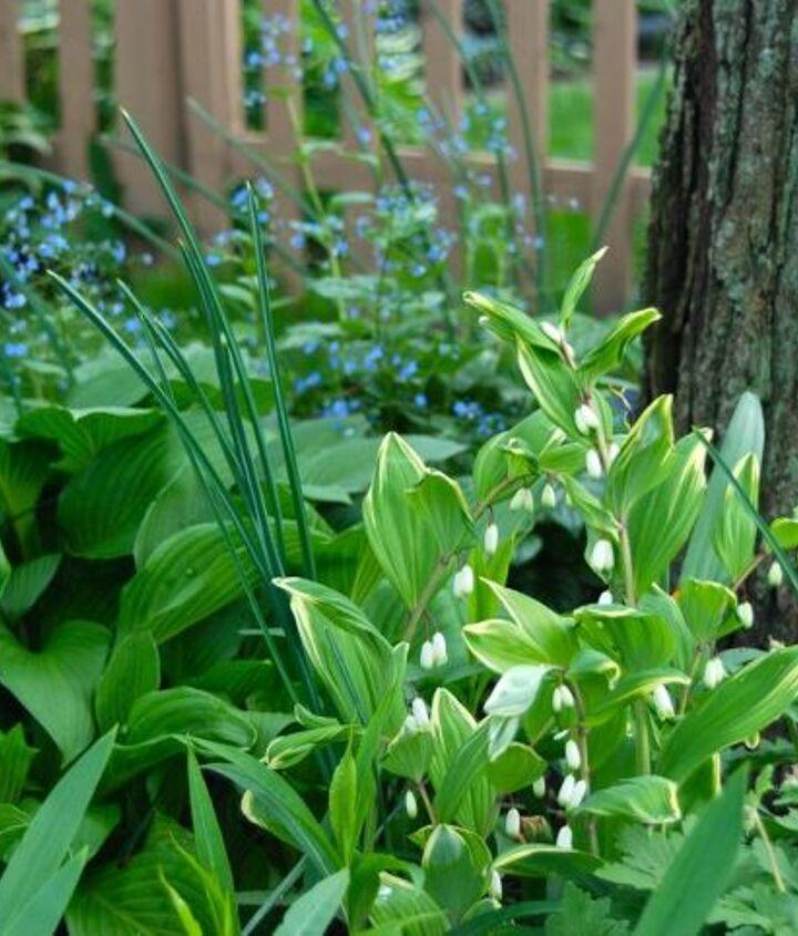 The Shade Path garden: Variegated Solomon Seal (Polygonatum odoratum 'Variegatum') in front of the blue flowers of Brunnera 'Jack Frost'.