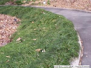 q planting mondo grass, gardening, landscape
