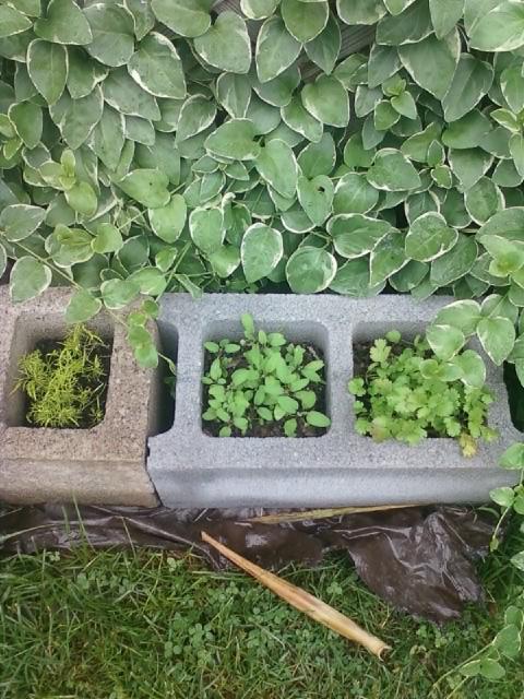 Fennel sage and cilantro in cinder blocks