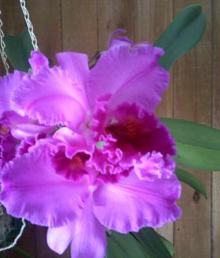 q my favorite orchids, flowers, gardening