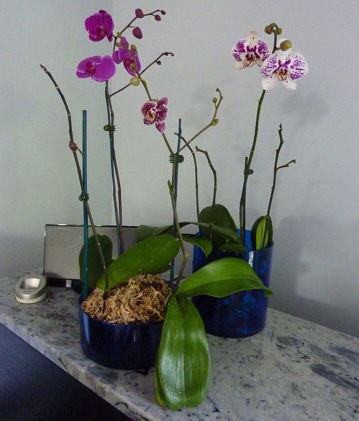 Orchids in the Den