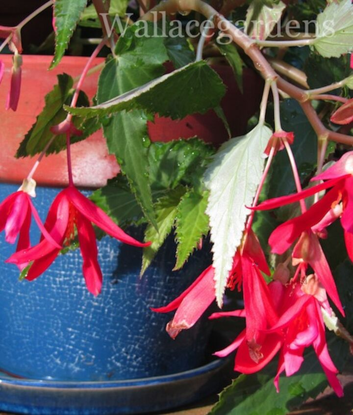 Red Begonias in a blue pot. There you go!