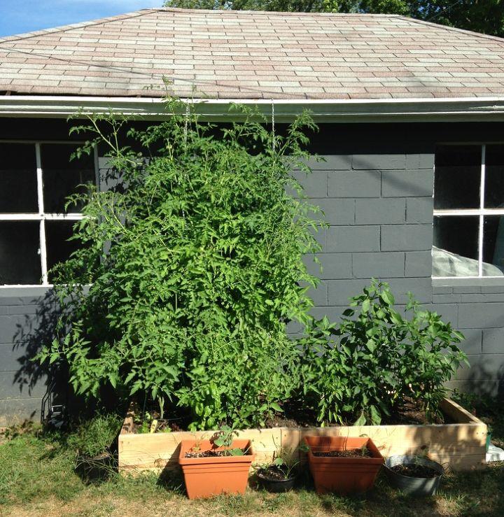 q rookie tomato mistakes, gardening, raised garden beds, 1 week ago