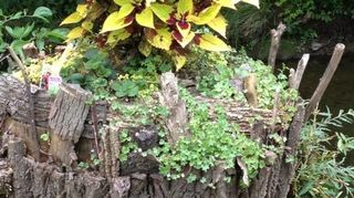 q how to dress up a tree stump, gardening, landscape, This is what I did to our willow tree stump It keeps sending off shoots that I ve been snipping I planted the coleus in the middle some kennilworth ivy trailing strawberries and another little filler I like the way it looks