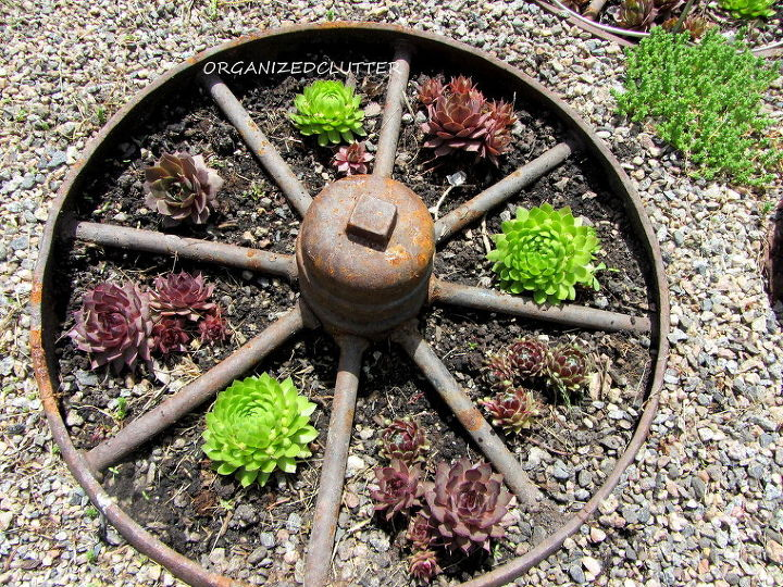 12 fun ways to plant hen amp chicks, gardening, outdoor living, repurposing upcycling, succulents, In a rusty iron wheel