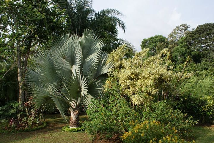 Bismarkia palm contrasting with the landscape.
