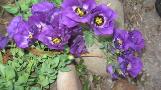 , Here is a picture of lisianthus in my garden