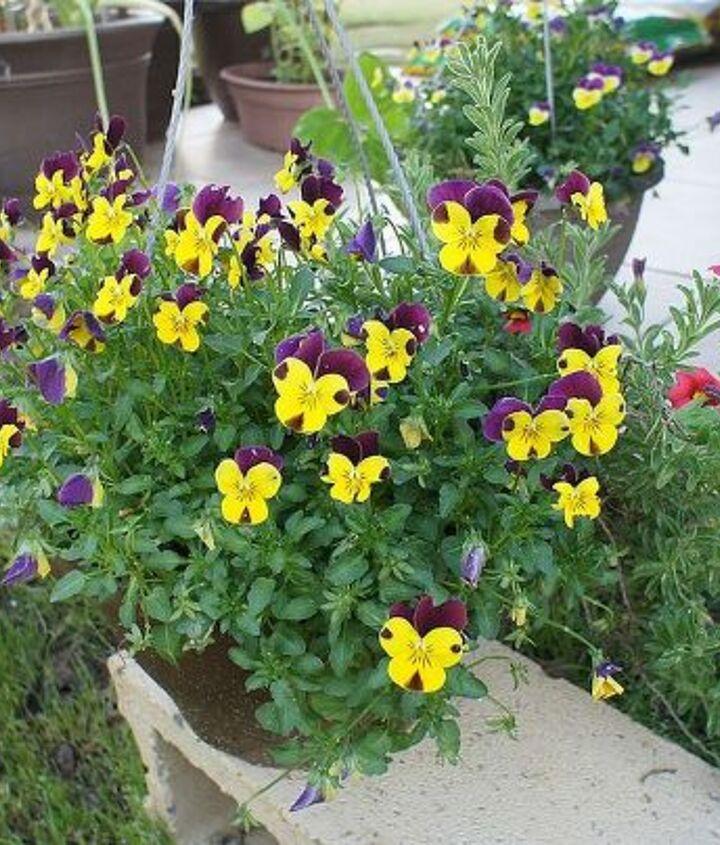 my spring garden, flowers, gardening, hydrangea