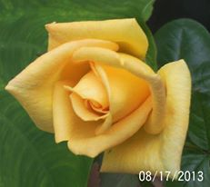 My perfect yellow rose, love it they are my favorite.
