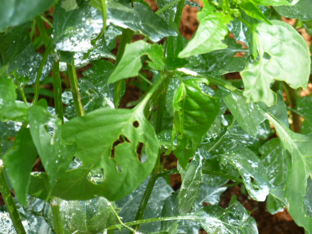 q something is eating my collard cabbage and pepper leaves any idea what it is and, gardening, pest control, Pepper
