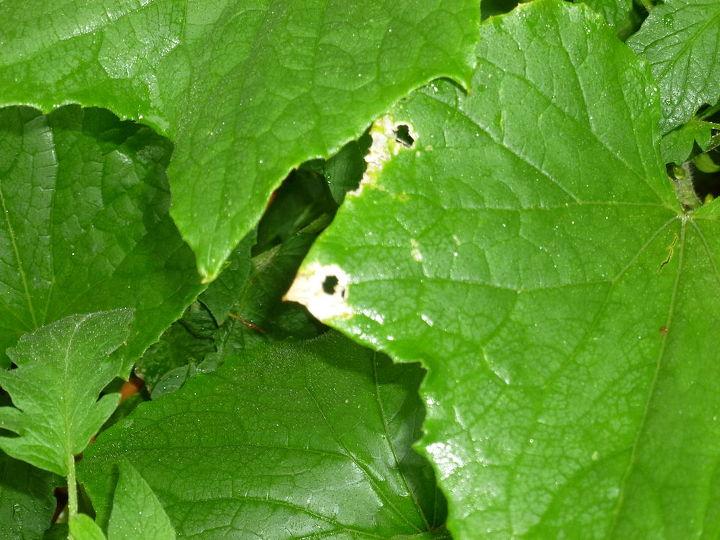 Eroding leaves, maybe 2