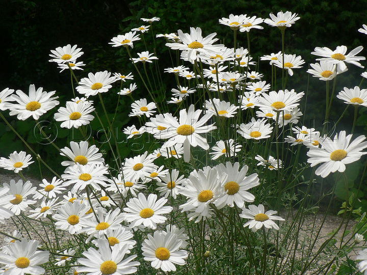 These chrysanthemum were labeled pyrethrum, a reminder of their insecticidal properties.